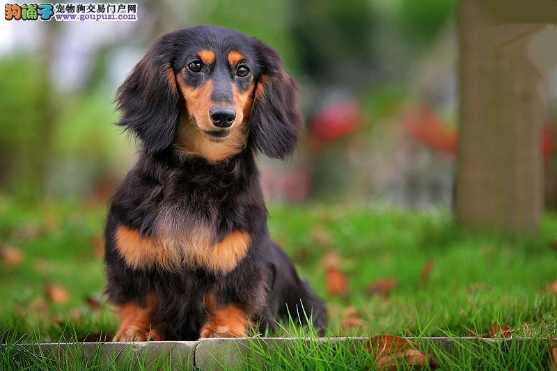 天津本地出售高品质腊肠犬宝宝微信看狗可见父母