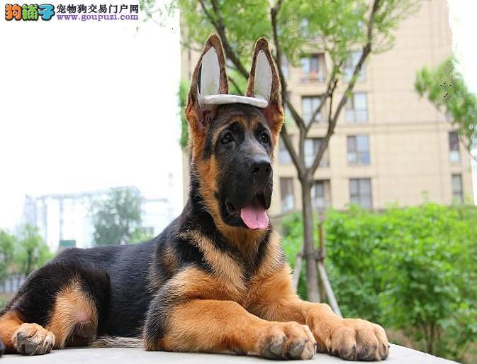 出售正宗血统优秀的狼狗保证冠军级血统