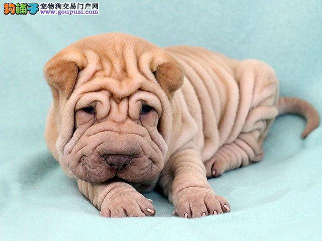 精品纯种荆州沙皮狗出售质量三包喜欢微信咨询