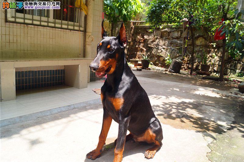 忠诚护卫犬 家养犬 纯种美系德系纯种杜宾犬幼犬出售