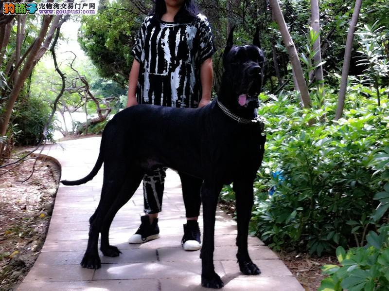 正规犬舍高品质大丹犬带证书签订终身协议