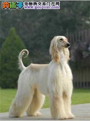 出售极品阿富汗猎犬幼犬完美品相期待来电咨询