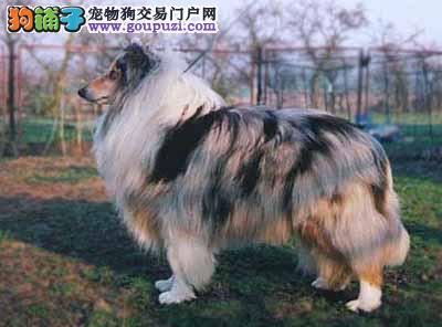 犬舍直销 苏牧幼犬保纯保健康