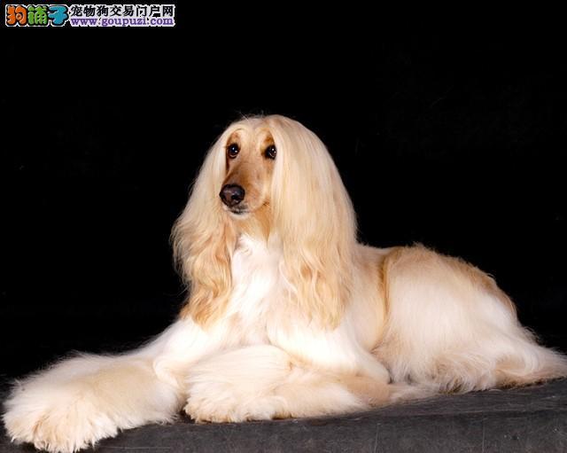 纯血统阿富汗猎犬幼犬 精心繁育品质优良 签订活体协议
