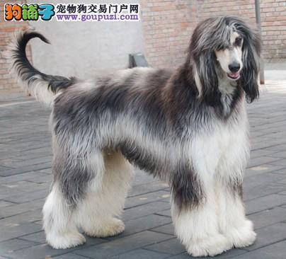 精品高品质阿富汗猎犬幼犬热卖中微信咨询看狗狗照片