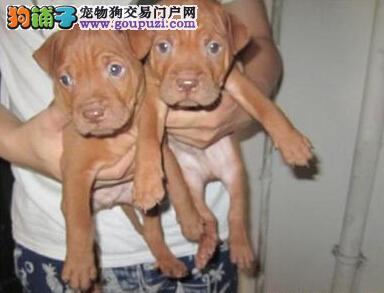 昆明犬舍低价热销 比特犬血统纯正微信视频看狗