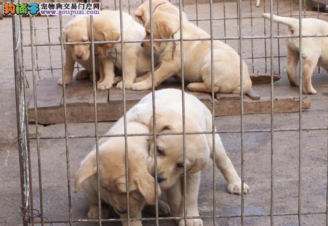 神犬小七 同款拉布拉多幼犬,宽嘴大头 血统纯正带证书
