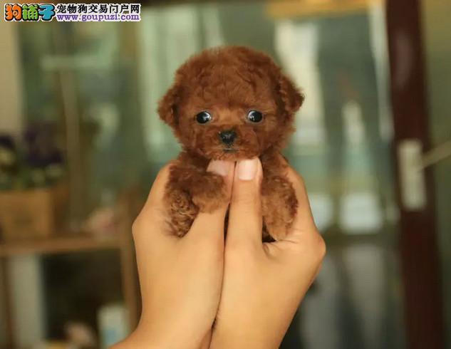 茶杯泰迪熊犬,玩具泰迪熊犬,支持送货上门,签协议