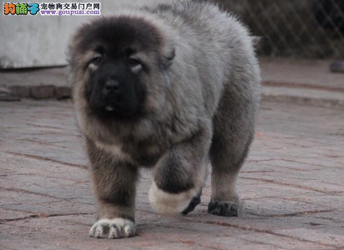 最具力量,巨型熊版 高加索 纯血统,3到5月幼犬