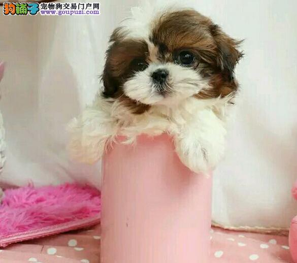 纯种小体西施幼犬 可以放在茶杯里的西施犬!
