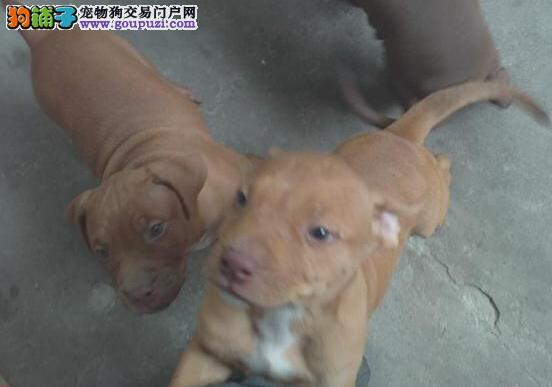 正规狗场犬舍直销比特犬幼犬可签订活体销售协议