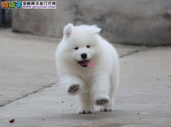 精品萨摩耶幼犬一对一视频服务买着放心终身售后送货