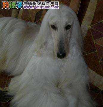 繁殖基地出售多种颜色的阿富汗猎犬微信咨询看狗