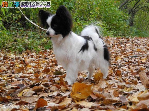 呼和浩特大型犬舍低价热卖极品蝴蝶犬国际血统认证