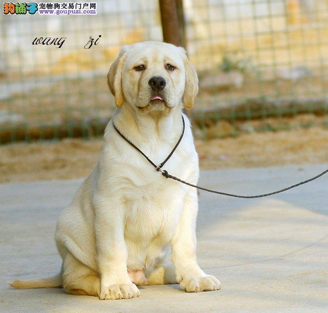 做第一品质 '专业繁殖拉布拉多 '高智商 工作犬