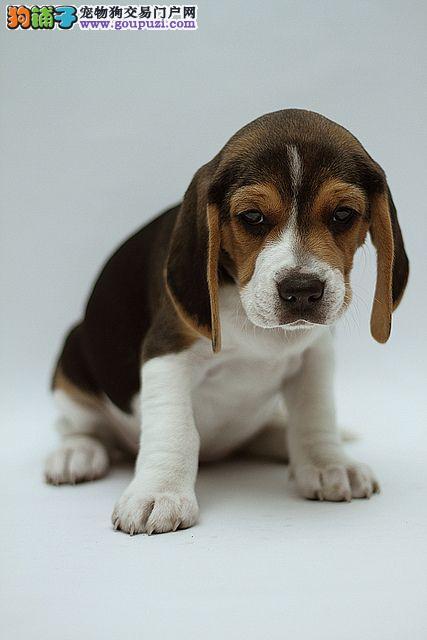比格犬价格多少钱上海哪里有卖比格犬比格犬价格