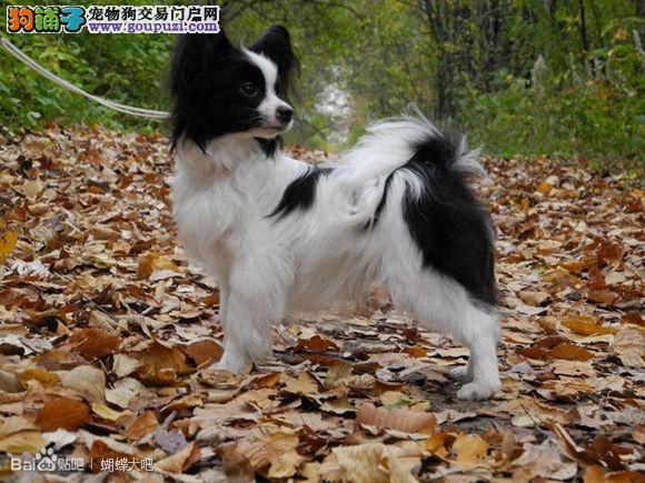 商丘市出售蝴蝶犬 可上门挑选 可视频看狗 签售后协议