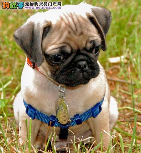 多种颜色的广东巴哥犬找爸爸妈妈假一赔万签活体协议