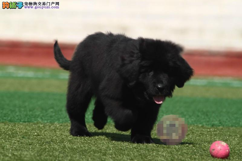专业正规犬舍热卖优秀的喀什纽芬兰犬送用品送狗粮