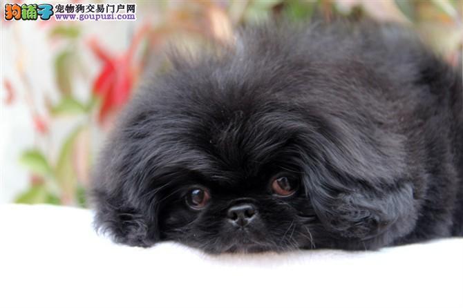 京巴找新家、精心繁育品质优良、提供养狗指导