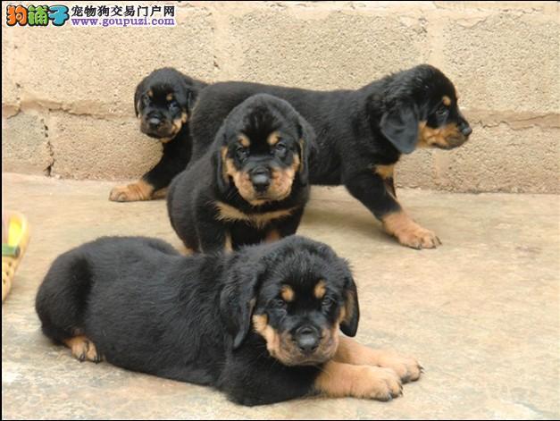 优良工作犬防暴犬罗威纳幼犬待售 绝非猪罗