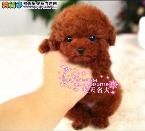 韩国引进卡哇伊玩具型泰迪幼犬 灰泰迪