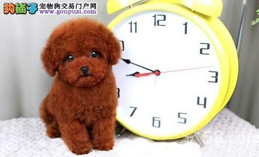 韩国口袋狗矢量图