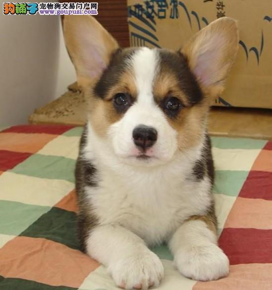 赠送用品+加户口纯种柯基幼犬健康质保签协议
