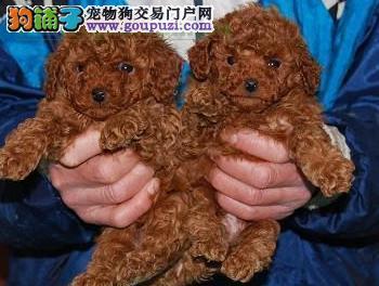 思茅那个地方批发宠物狗 思茅哪里有卖纯种小泰迪