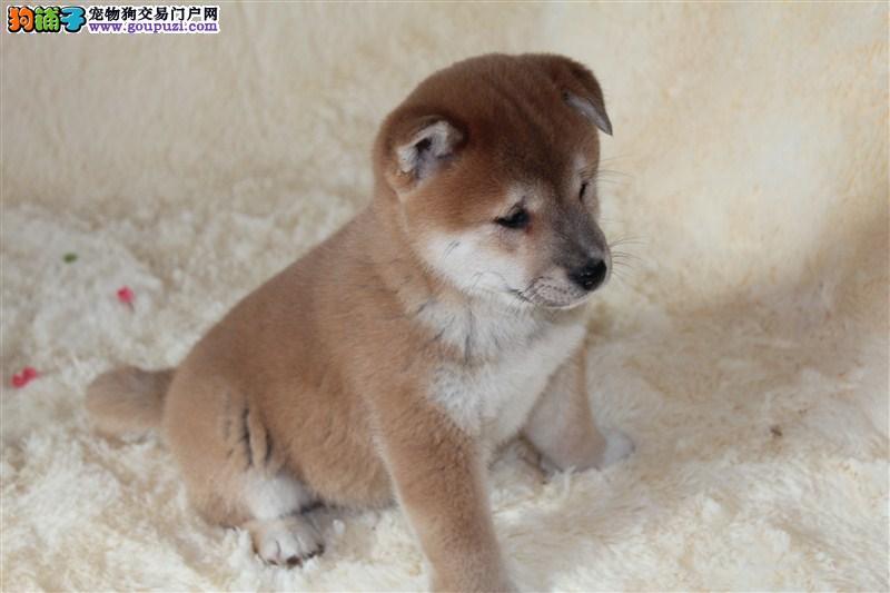 双血统顶尖赛级柴犬幼犬 质保低价出售 自家繁殖