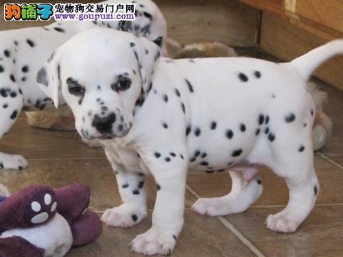 自家繁殖可爱斑点幼犬保纯种 保健康