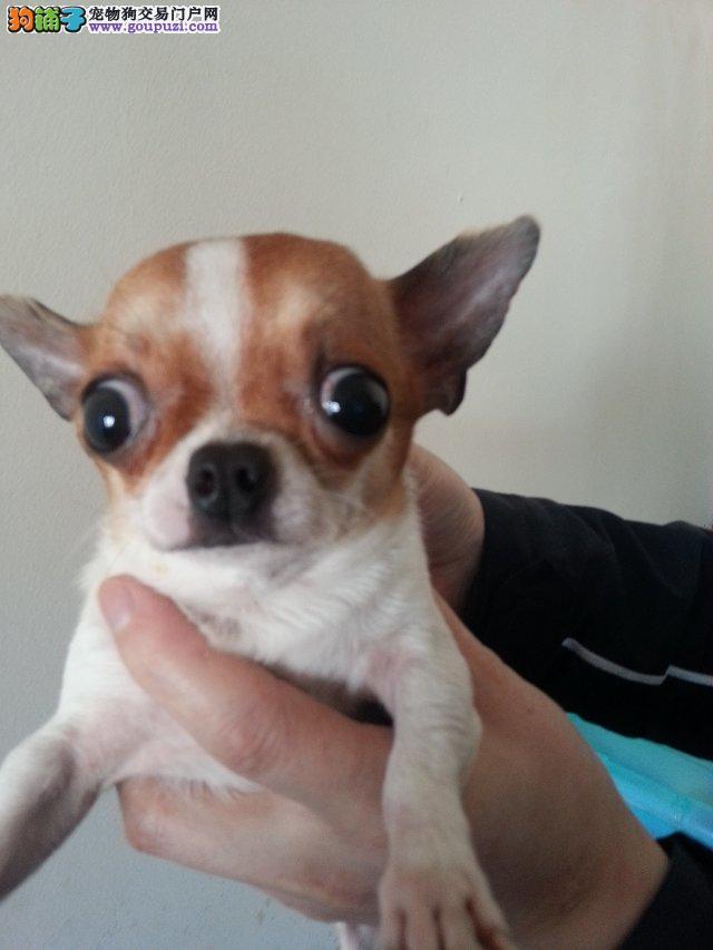 硬货 高品质名犬 诚信出售 电话/微信:15294615217