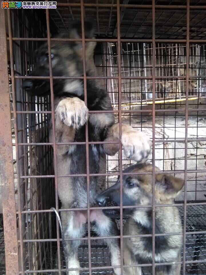 福建卖昆明犬 福州卖买昆明犬 狗场常年出售纯种昆明犬