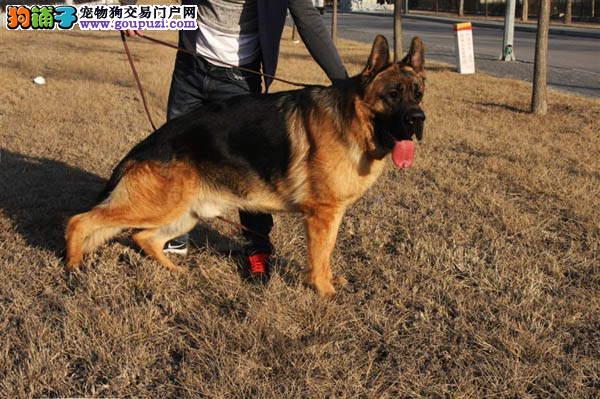 CKU犬舍认证出售纯种狼狗包养活送用品
