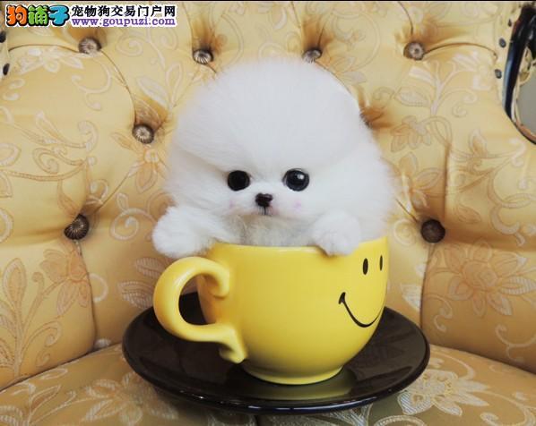 精品爆毛圆脸棕色咖色灰色茶杯犬签终身纯种健康协议