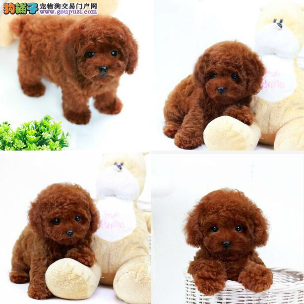 深圳哪里有纯种茶杯犬卖、纯种茶杯的价格