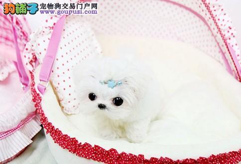 广州哪里有卖马尔济斯犬、纯种马尔济斯犬的价格