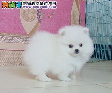 中山什么地方有卖博美,在中山哪里可以买到白色博美犬