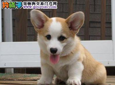 中山哪里有卖柯基 三色两色柯基宠物狗