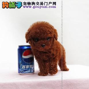 中山什么地方有出售纯种玩具泰迪熊幼犬