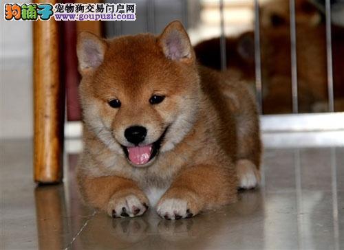 深圳哪里有卖日本柴犬 柴犬多少钱一只