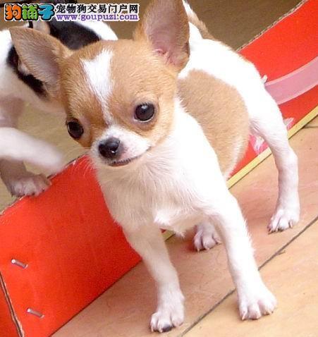 广州哪里有卖吉娃娃 吉娃娃犬一只多少钱