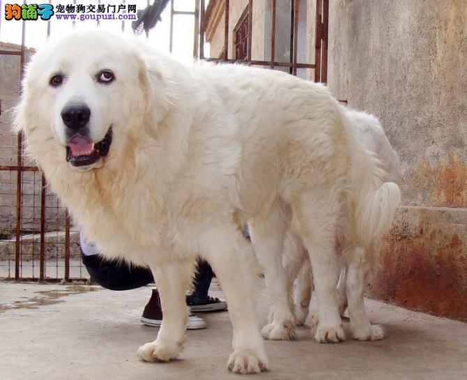 广州哪里有卖大白熊 大白熊价格