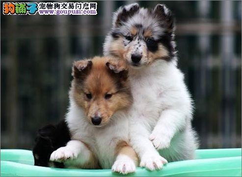 精品纯种武汉苏牧出售质量三包微信咨询看狗