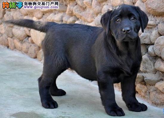 肇庆哪里有卖拉布拉多犬 肇庆拉多犬成年多少斤重