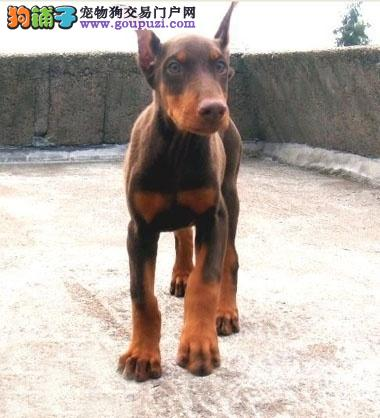 常年出售杜宾幼犬 成犬价钱合理 货真价实