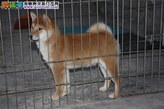 肇庆哪里有卖日本柴犬东莞首选远泰狗场