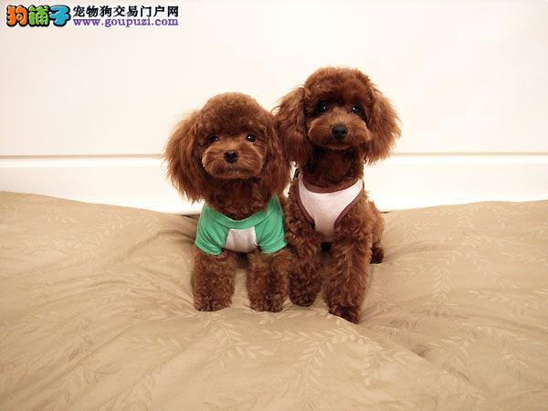 肇庆哪里有卖泰迪熊 肇庆哪里有犬舍狗狗
