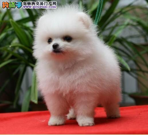 肇庆哪里有卖博美犬肇庆纯种博美犬价格