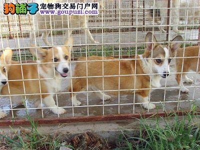 肇庆哪里有卖纯种的柯基幼犬肇庆哪里有卖狗